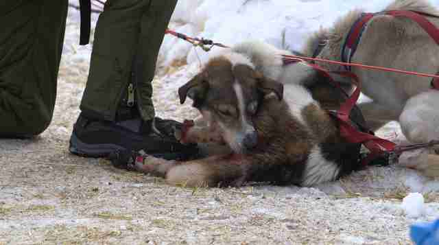 dog sled abuse race iditarod