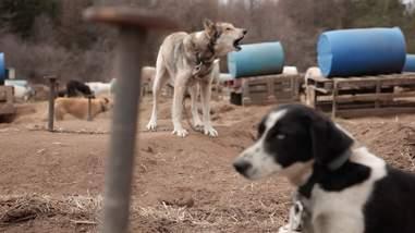 sled dog abuse canada