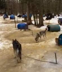 sled dog abuse canada windrift adventures