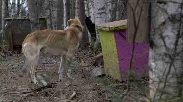 iditarod mushing abuse