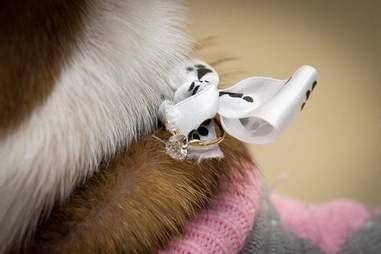 rescue pitbull iowa engagement proposal