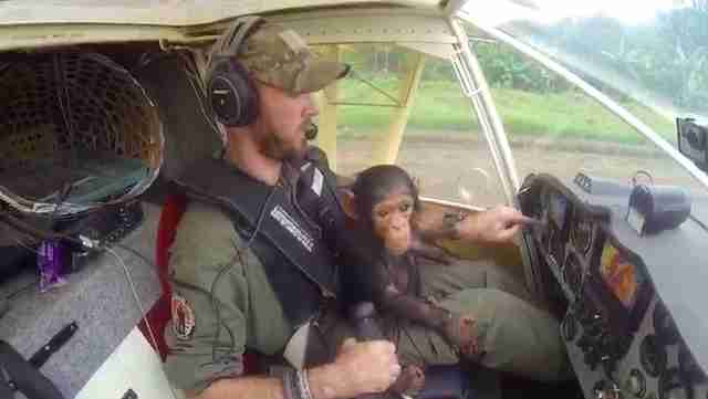 Baby chimp sitting on pilot's lap