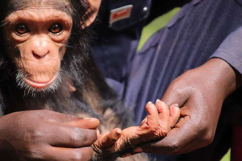 Person holding hand of baby chimp
