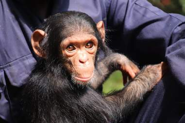 Person holding baby chimp
