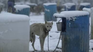 iditarod abuse alaska dogs