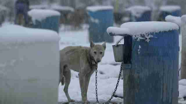 iditarod abuse alaska dogs
