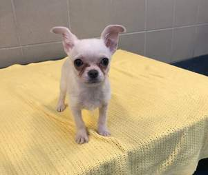 Chihuahua found abandoned in towel in London park