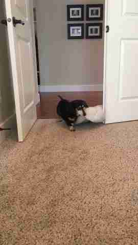 tiny dog drags her bed from room to room