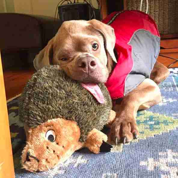 Dog with funny shaped head snuggling with stuffed animal