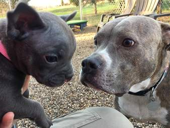 pit bull puppy with a cleft palate
