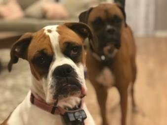 dog boxer couch kentucky