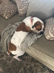 dog boxer resting couch kentucky