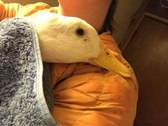 rescue duck loves to cuddle