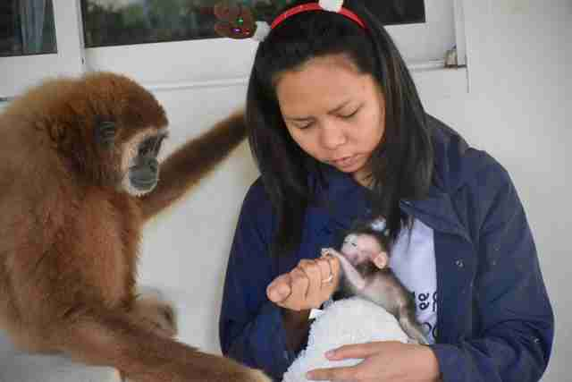 Gibbon watching woman feed baby macaque