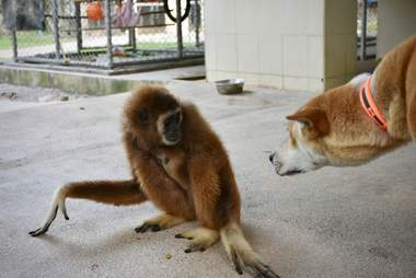 Gibbon and dog regarding each other