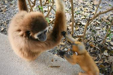 Baby gibbon touching adult gibbon