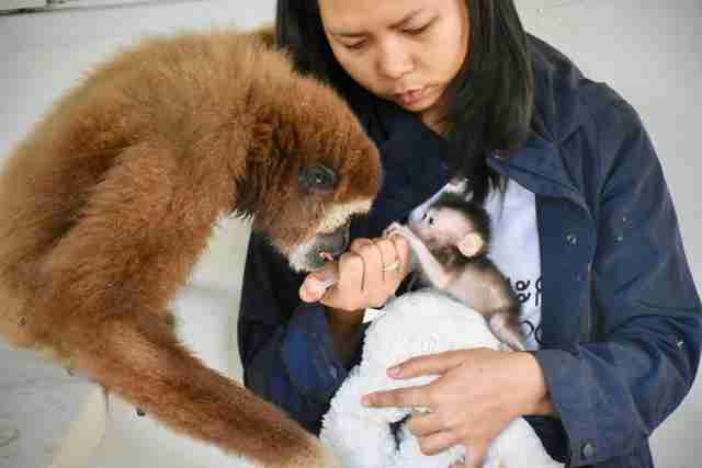 Gibbon trying to lick milk from syringe