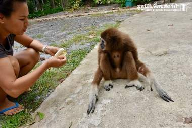 Woman offering rescue gibbon a banana