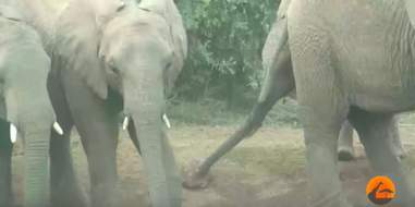 tortoise gets stuck in an elephant stampede