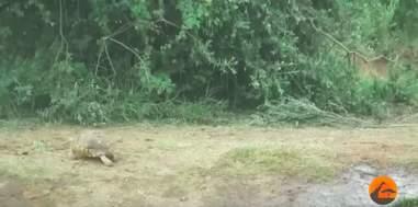 tortoise gets stuck in elephant stampede