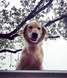 huck golden retriever texas roof