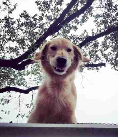 huck golden retriever texas roof