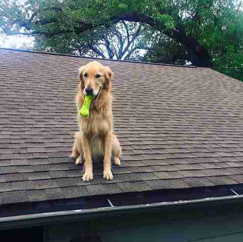 dog roof huck golden retriever texas