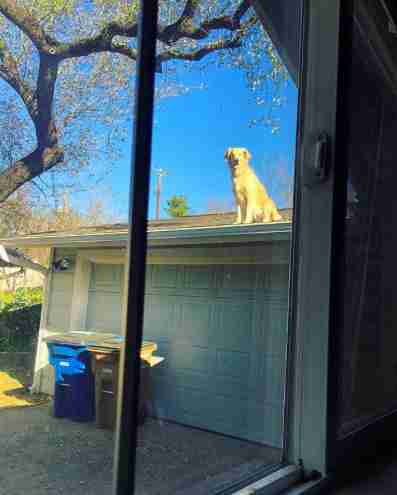 dog huck golden retriever roof