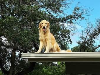 dog golden retriever huck roof