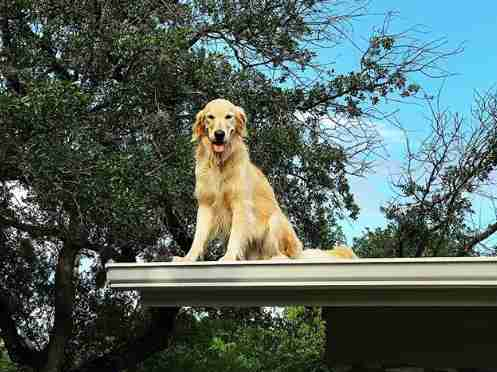 dog golden retriever huck roof