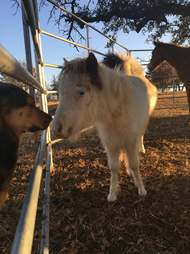 Mini horse kissing dog at refuge