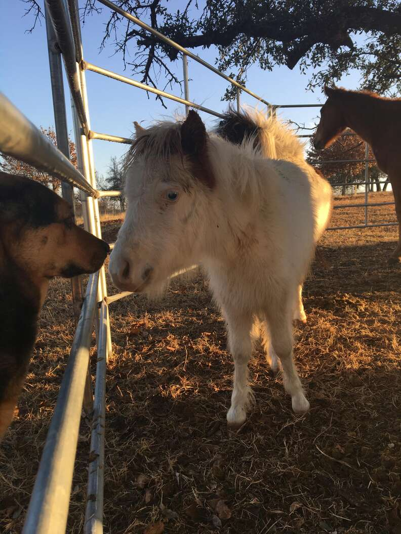 Mini horse kissing dog at refuge