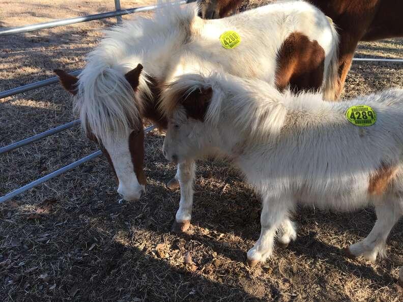Mini horses rescued from Texas kill pen