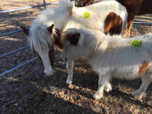 Mini horses rescued from Texas kill pen