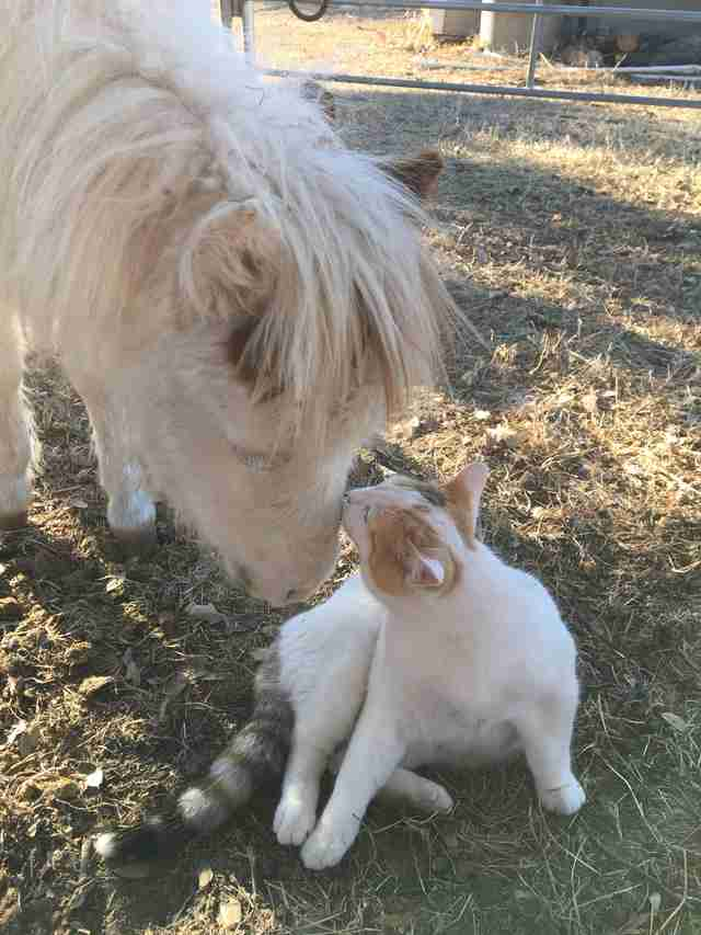 Cat kissing rescued mini horse