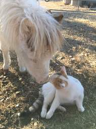 Mini horse kissing cat at refuge