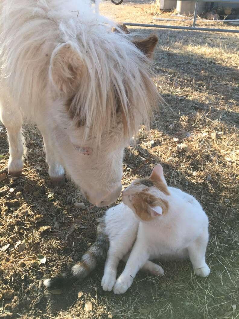 Mini horse kissing cat at refuge