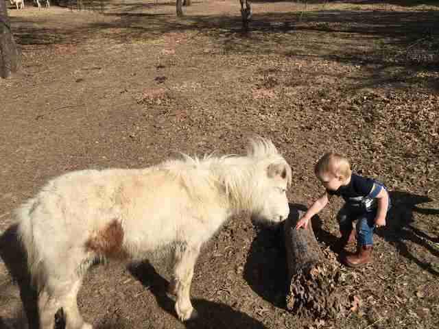 Mini horse meeting toddler