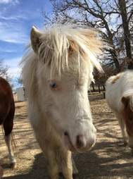 Mini horse saved from Texas kill pen