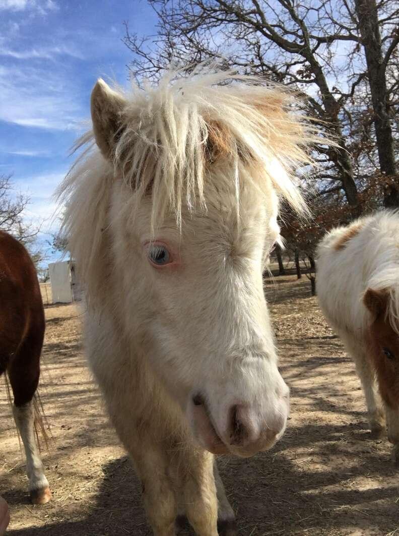 Mini horse saved from Texas kill pen