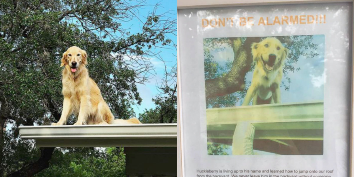 Huck The Golden Retriever Loves Chilling Out On His Roof