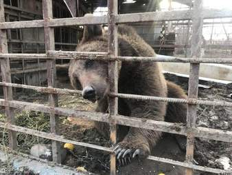 Brown bear locked up in cage