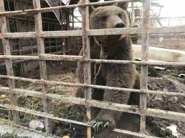 Brown bear locked up in small dirty cage