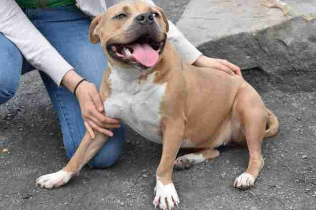 pit bull nice helena returned shelter