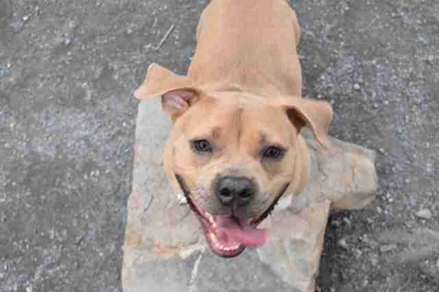 helena pit bull dog nice returned shelter