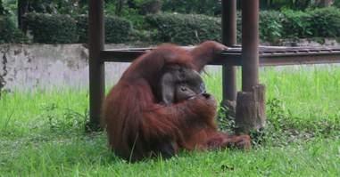 Orangutan smoking cigarette inside enclosure