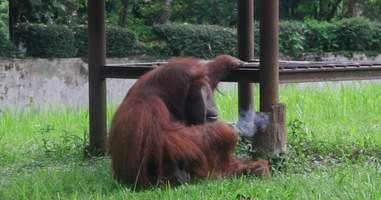 Orangutan smoking cigarette
