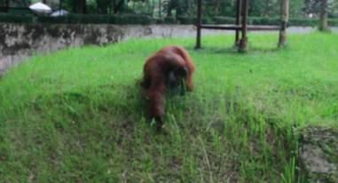 Orangutan picking up cigarette