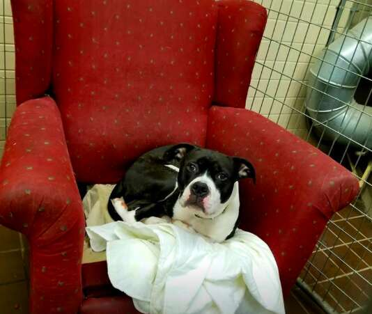 pit bull chair kennel shelter