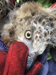 african crowned eagle rescue liberia